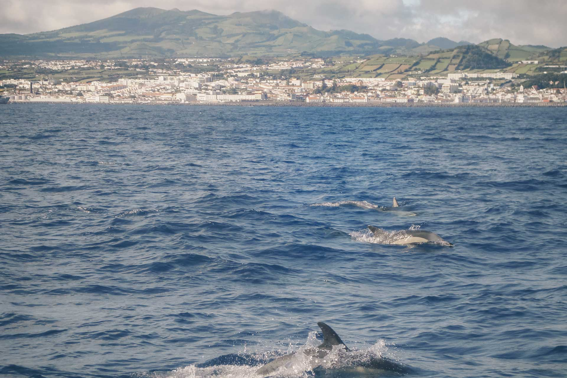 Dolphins Azores