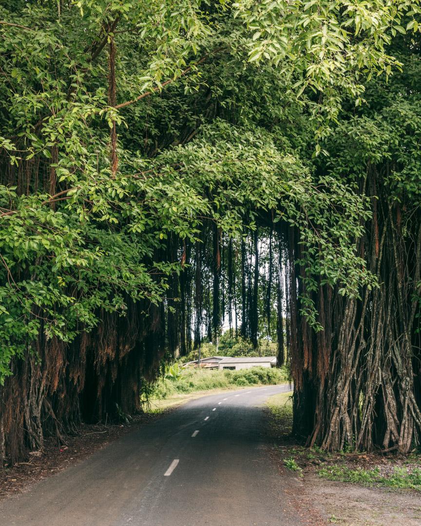 Banyan tree in Aitutaki