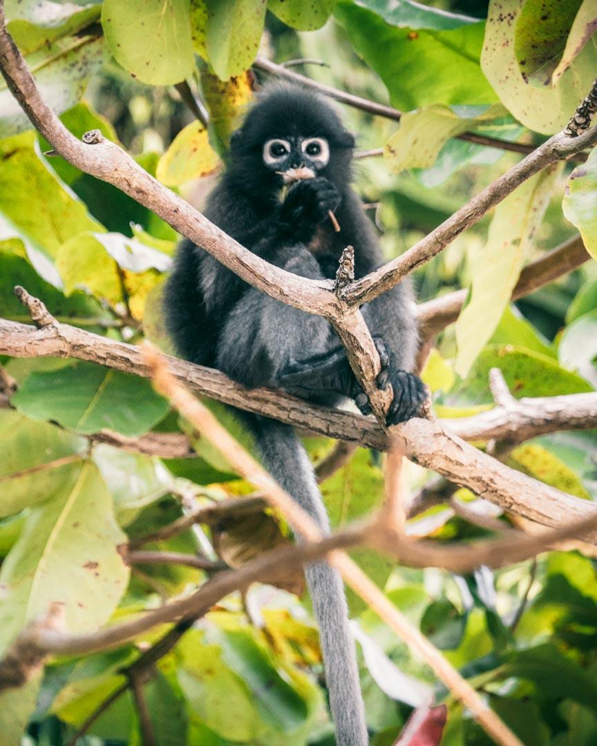 Monkeys on Koh Wua Talap
