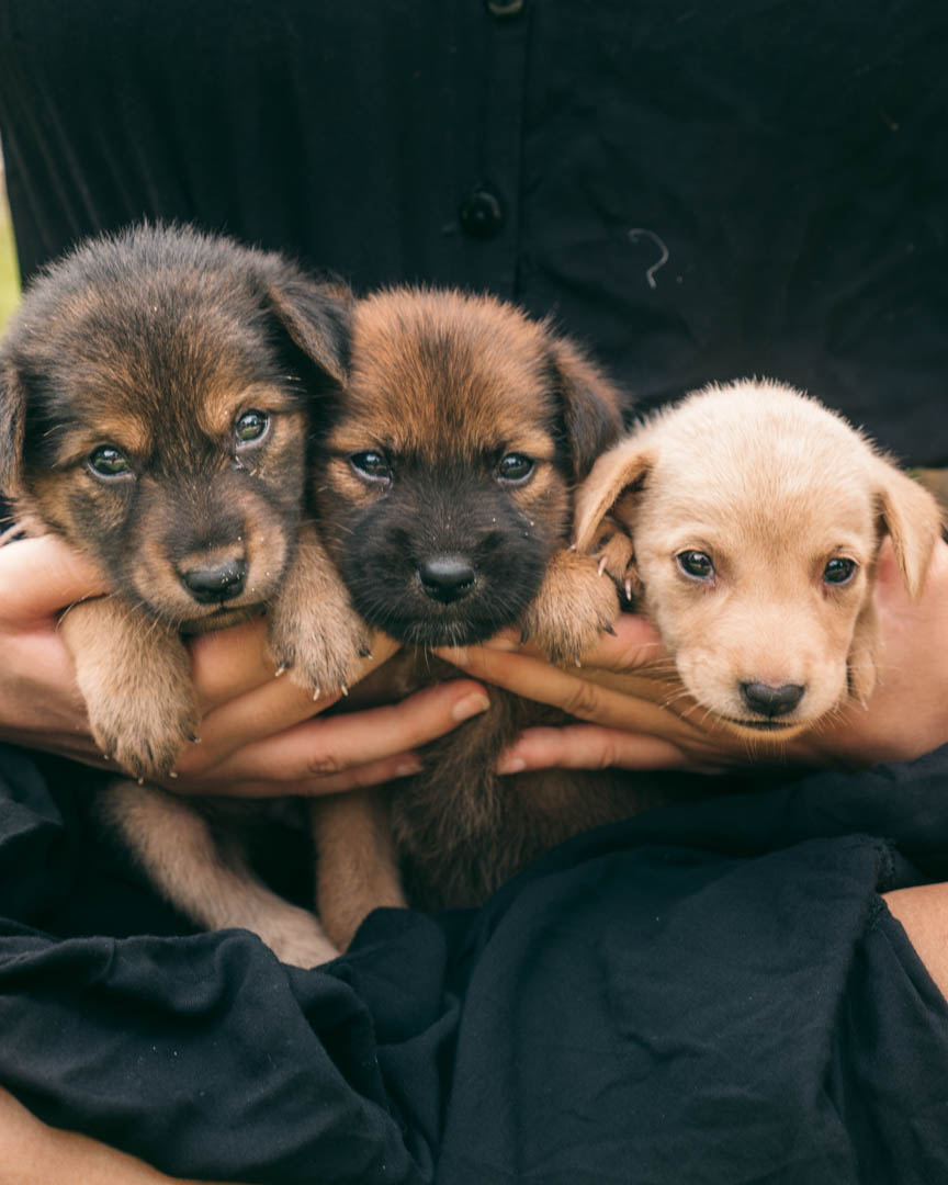 Three puppies in hands