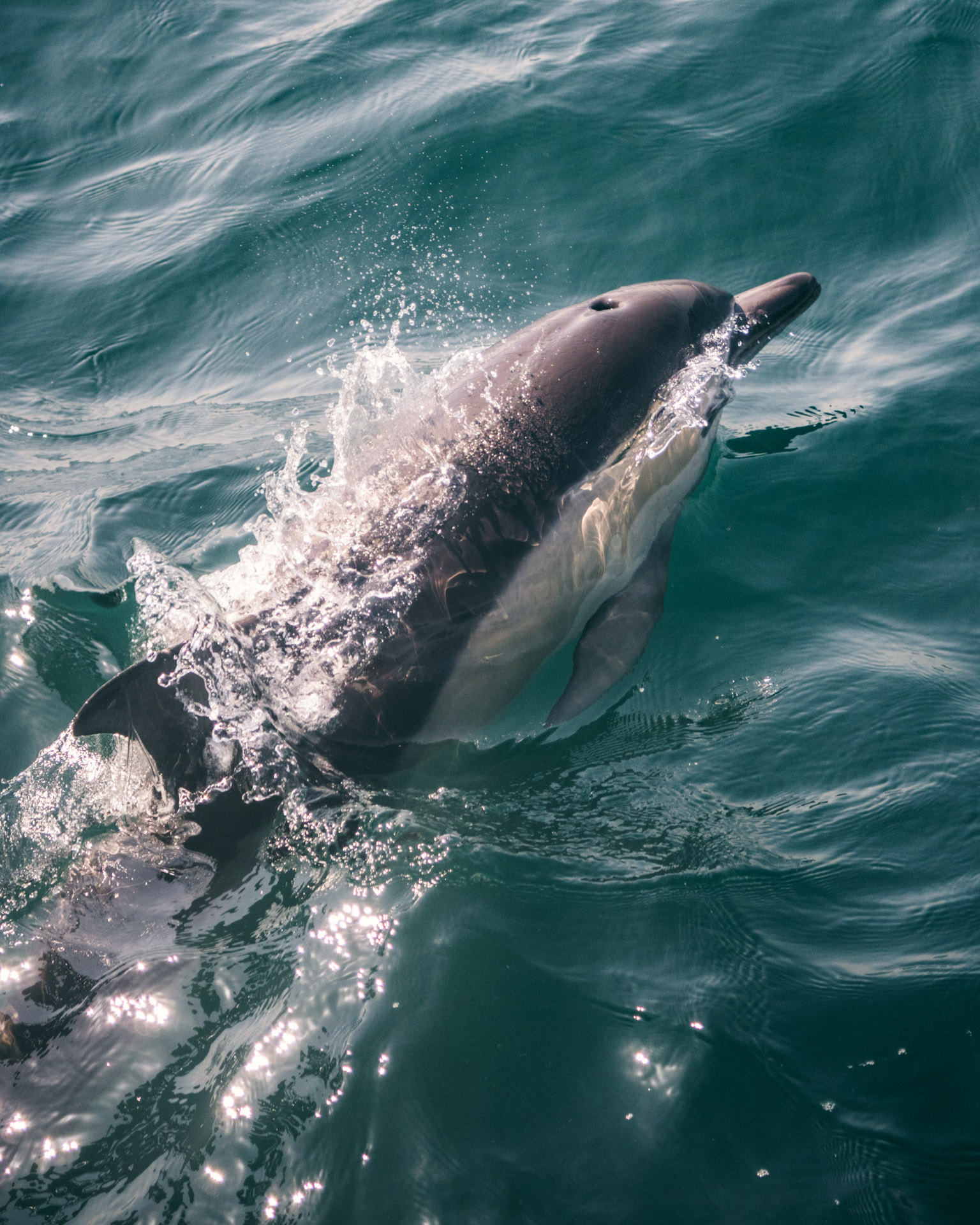 Dolphin in New Zealand
