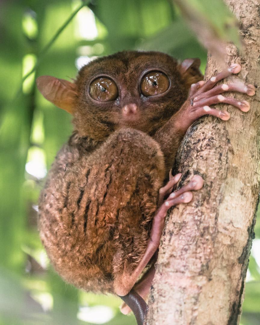 Close-up of tarsier in Bohol