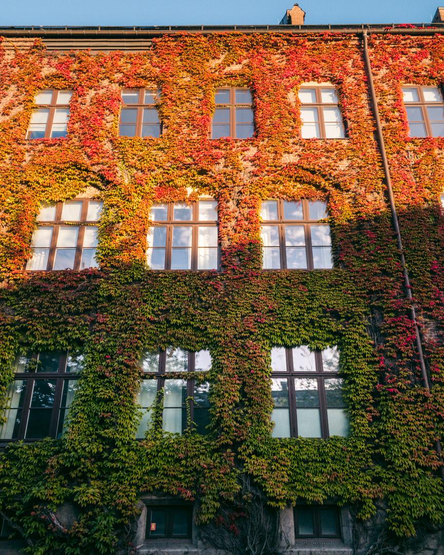 Vine-clad building in Lund in autumn