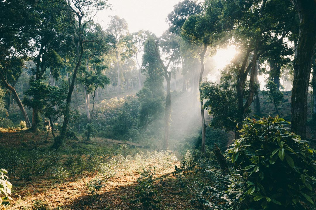 Alaka coffee farm