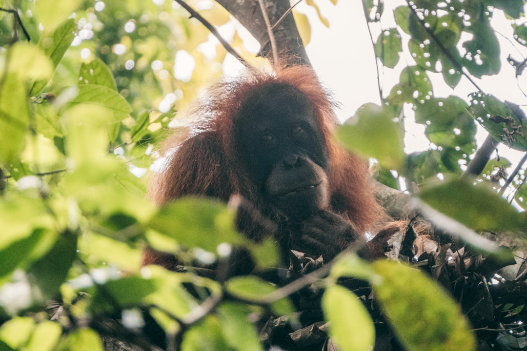Orangutan pondering life in the trees
