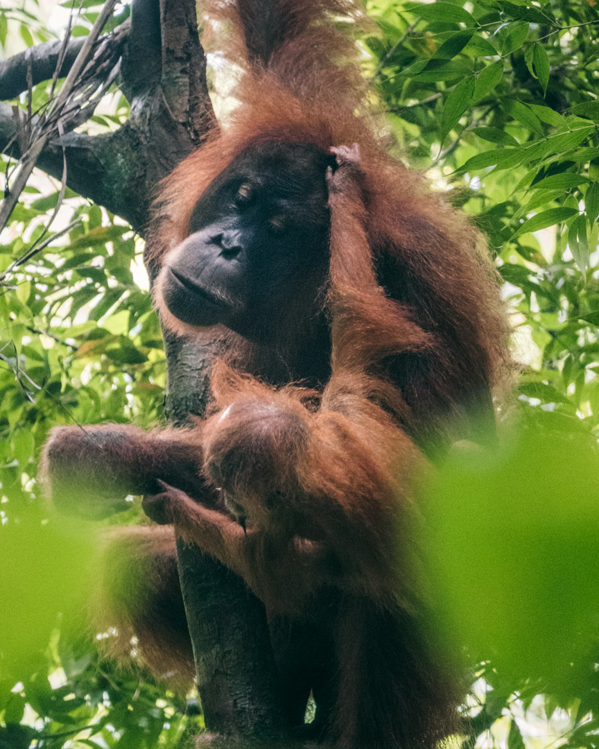 Orangutan with baby in the rainforest in North Sumatra