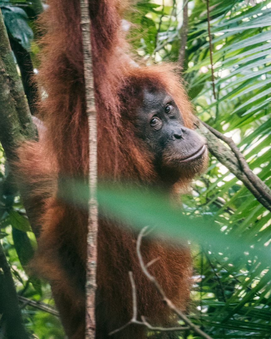 Orangutan in the rainforest in North Sumatra