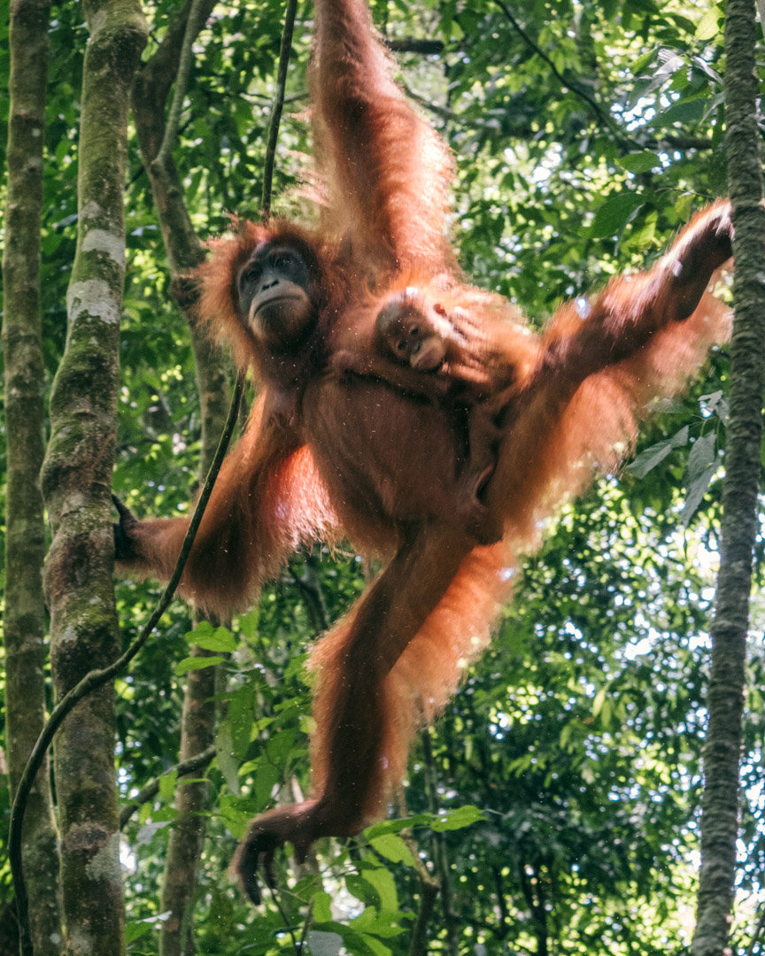 Orangutan with baby swinging around the trees in the rainforest in Indonesia