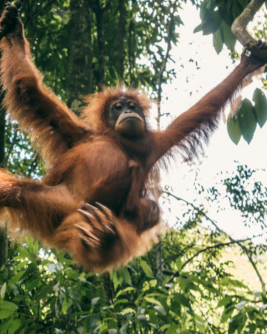 Orangutan swinging around the trees in the rainforest in Indonesia