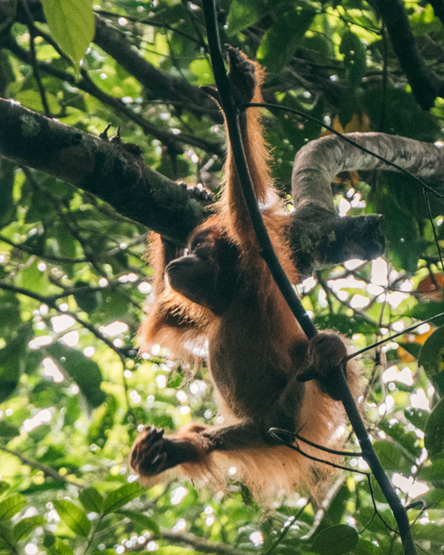 Cutest orangutan baby