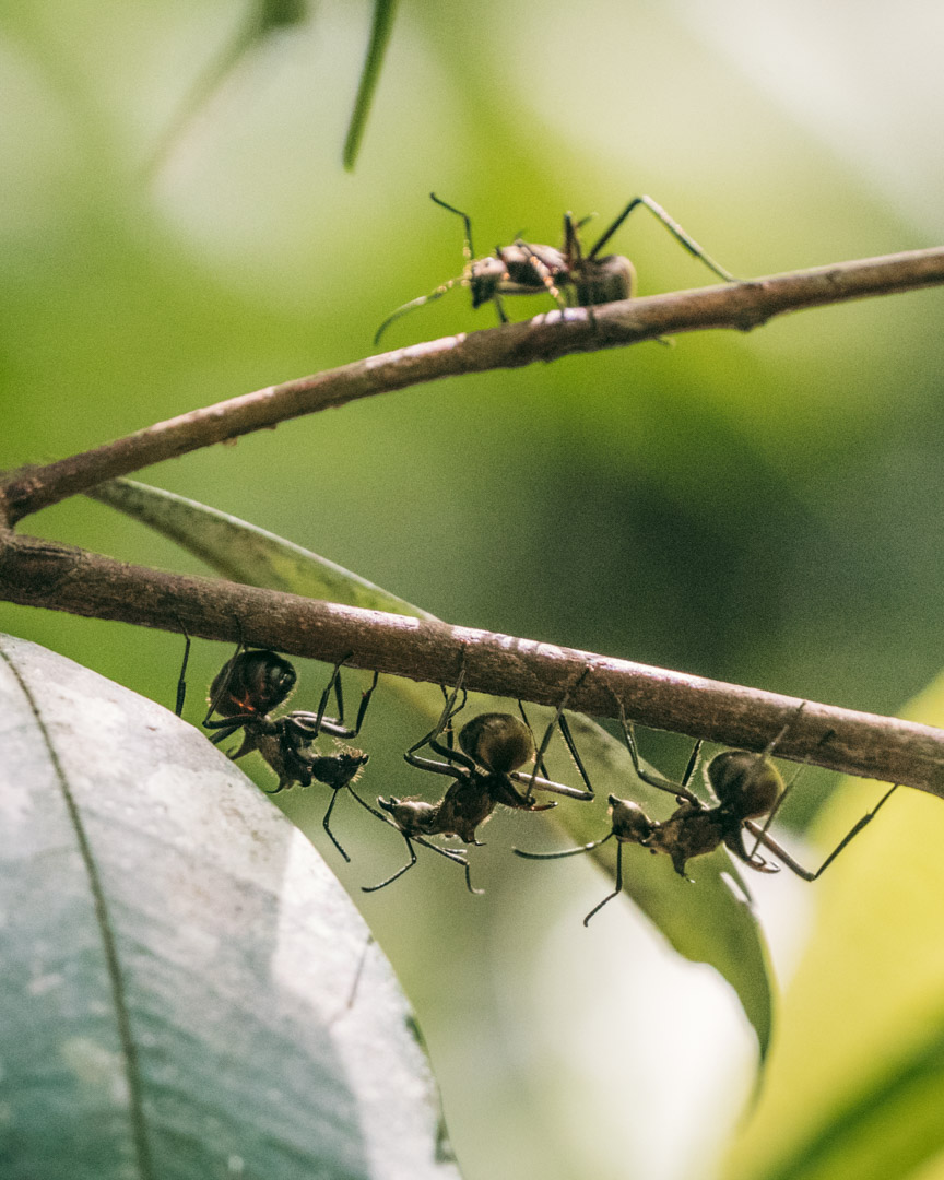 Huge ants in the rainforest