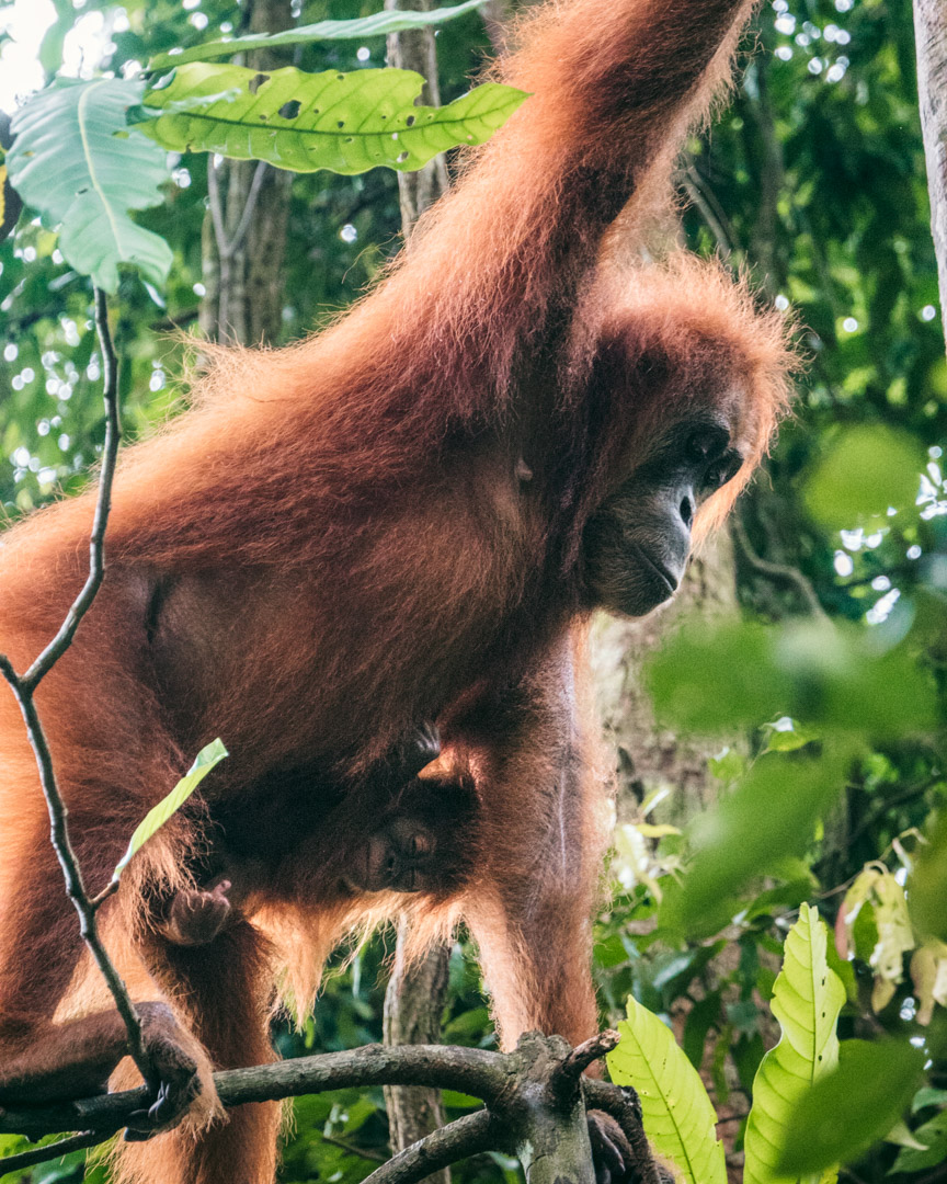 Orangutan with baby climbing trees