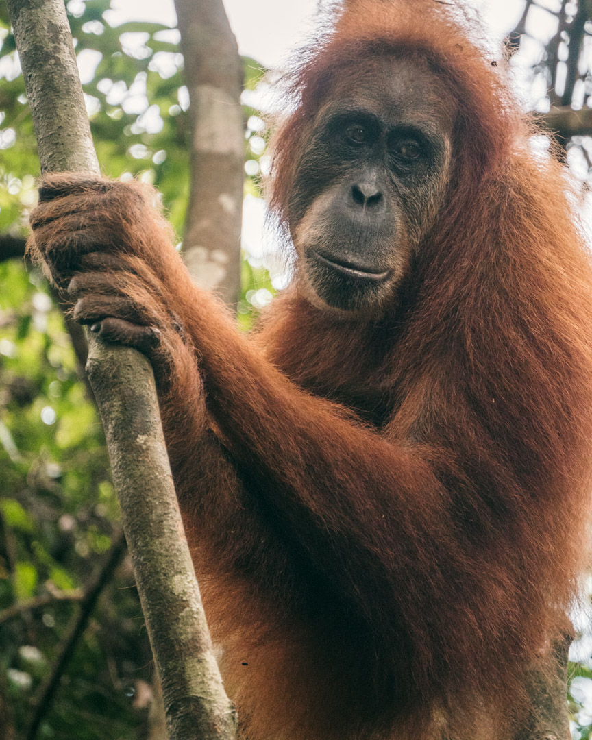 Orangutan in North Sumatra