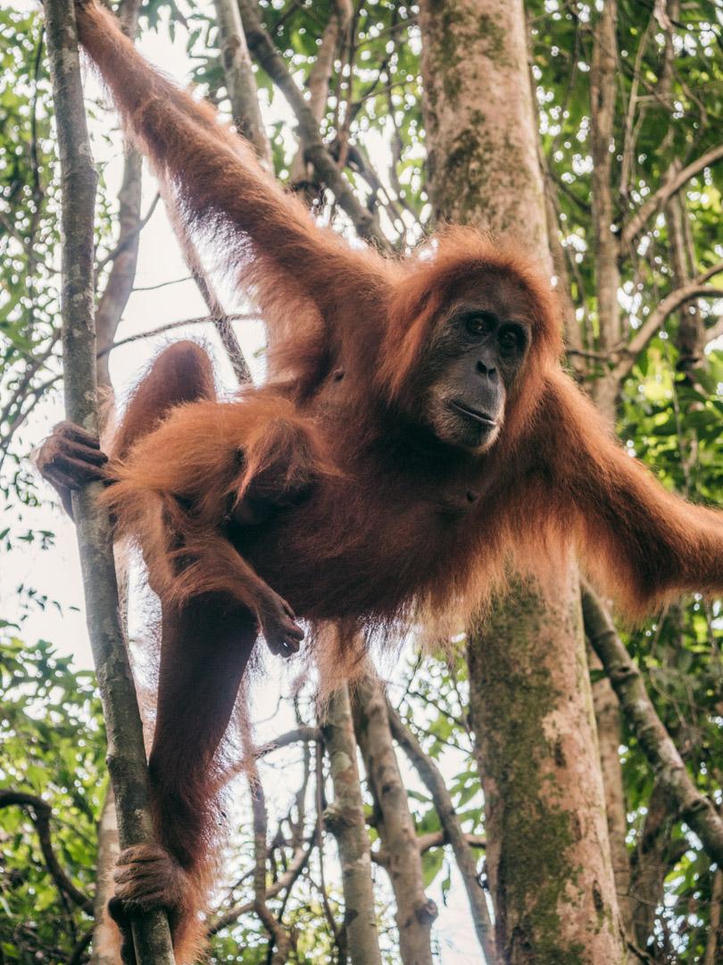 Orangutan near Bukit Lawang