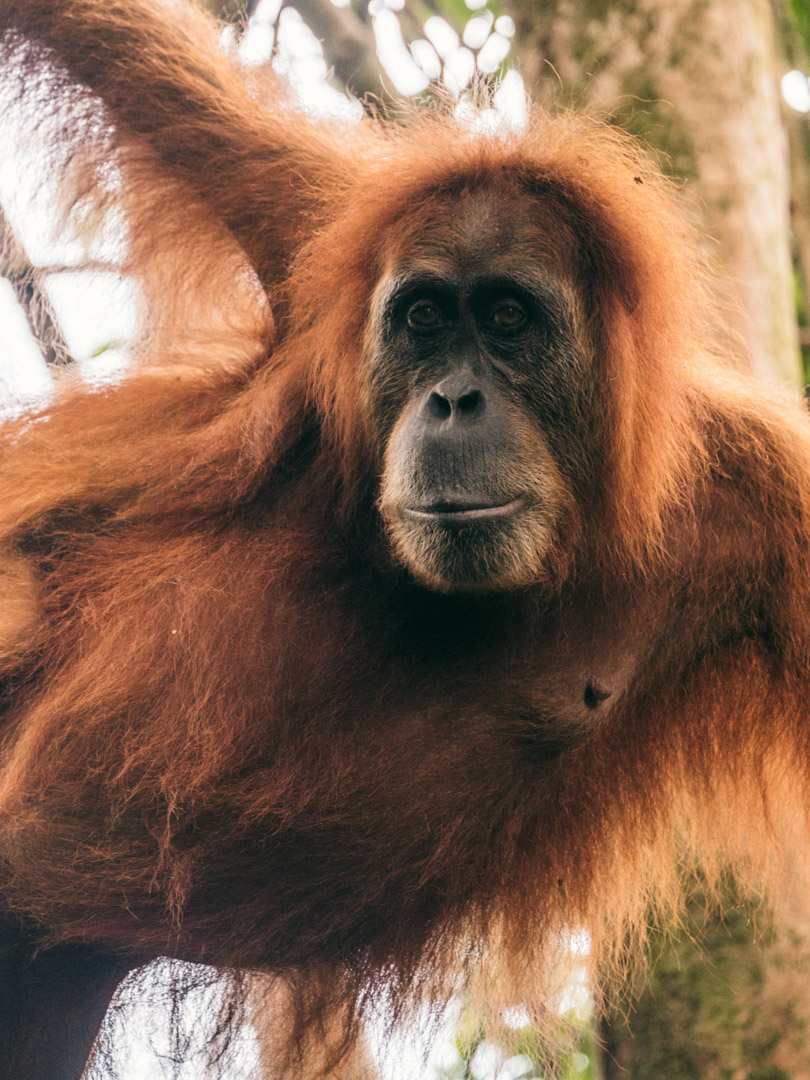 Sharp orangutan portrait