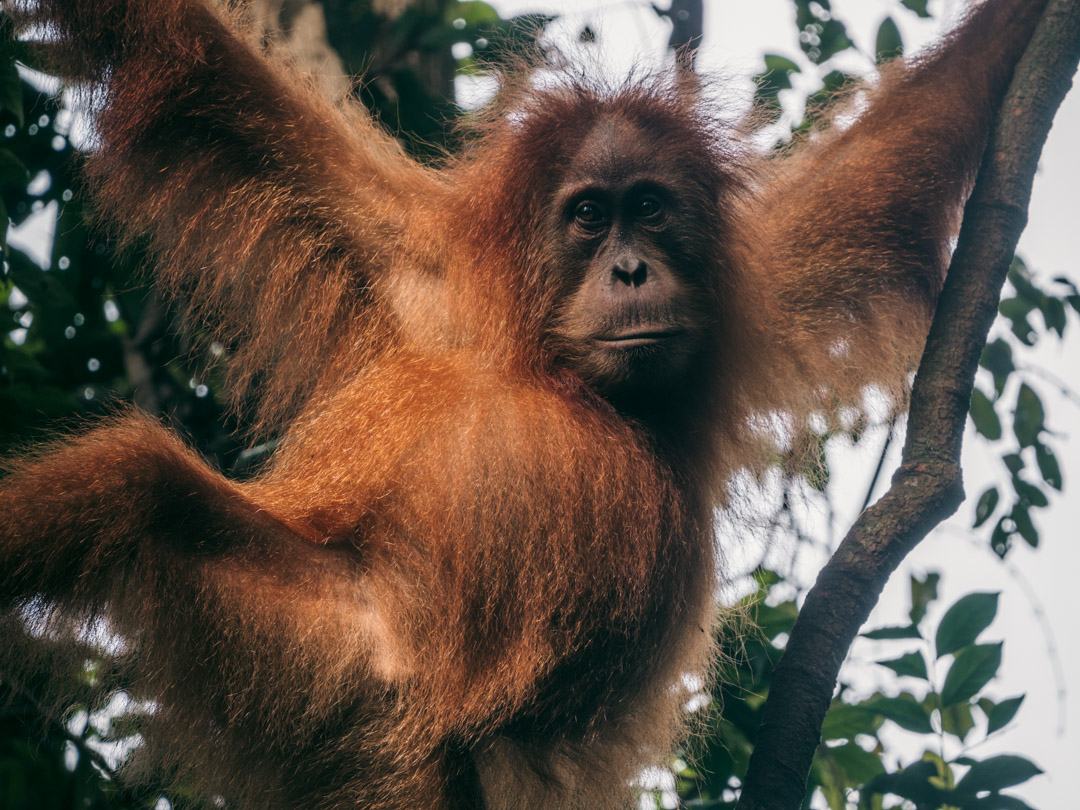 Orangutan in rainforest in Indonesia