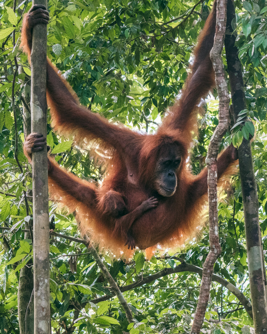This orangutan mother was semi-wild