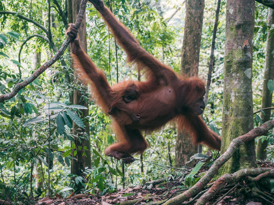 Orangutan picking up fruit skins from the forest floor