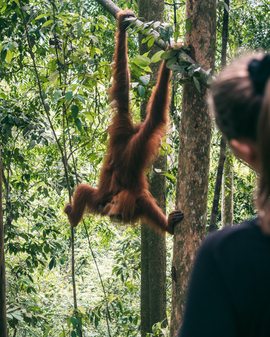 Victoria and orangutan in Sumatra
