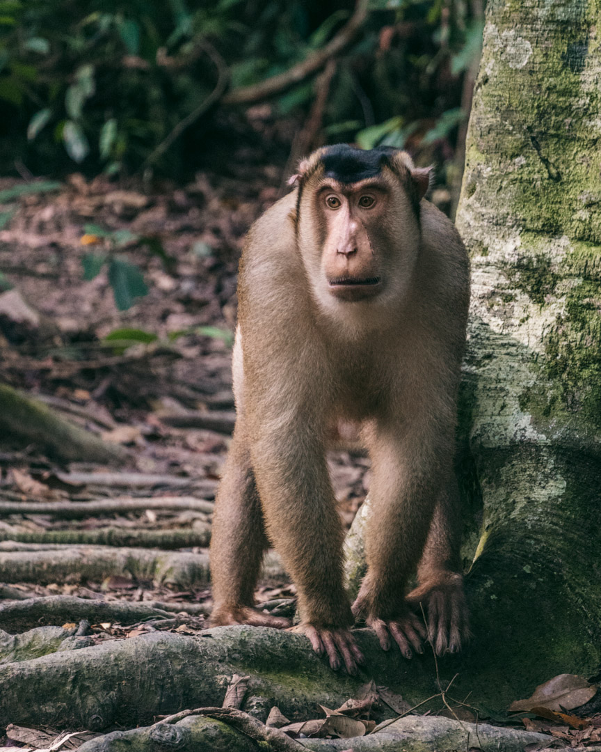 A  short-tail (pigtail) macaque walking on the path