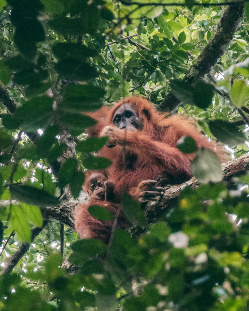 A wild orangutan with her baby in the trees far above our camp