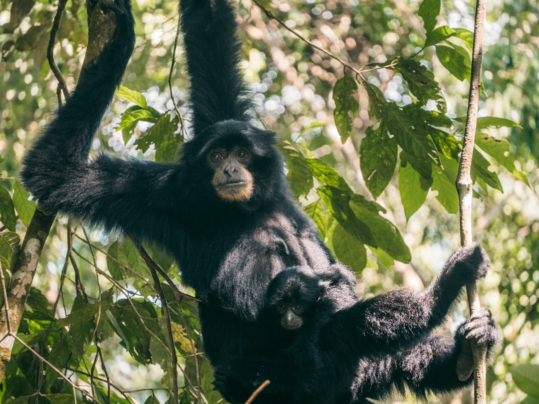A siamang chilling in the jungle