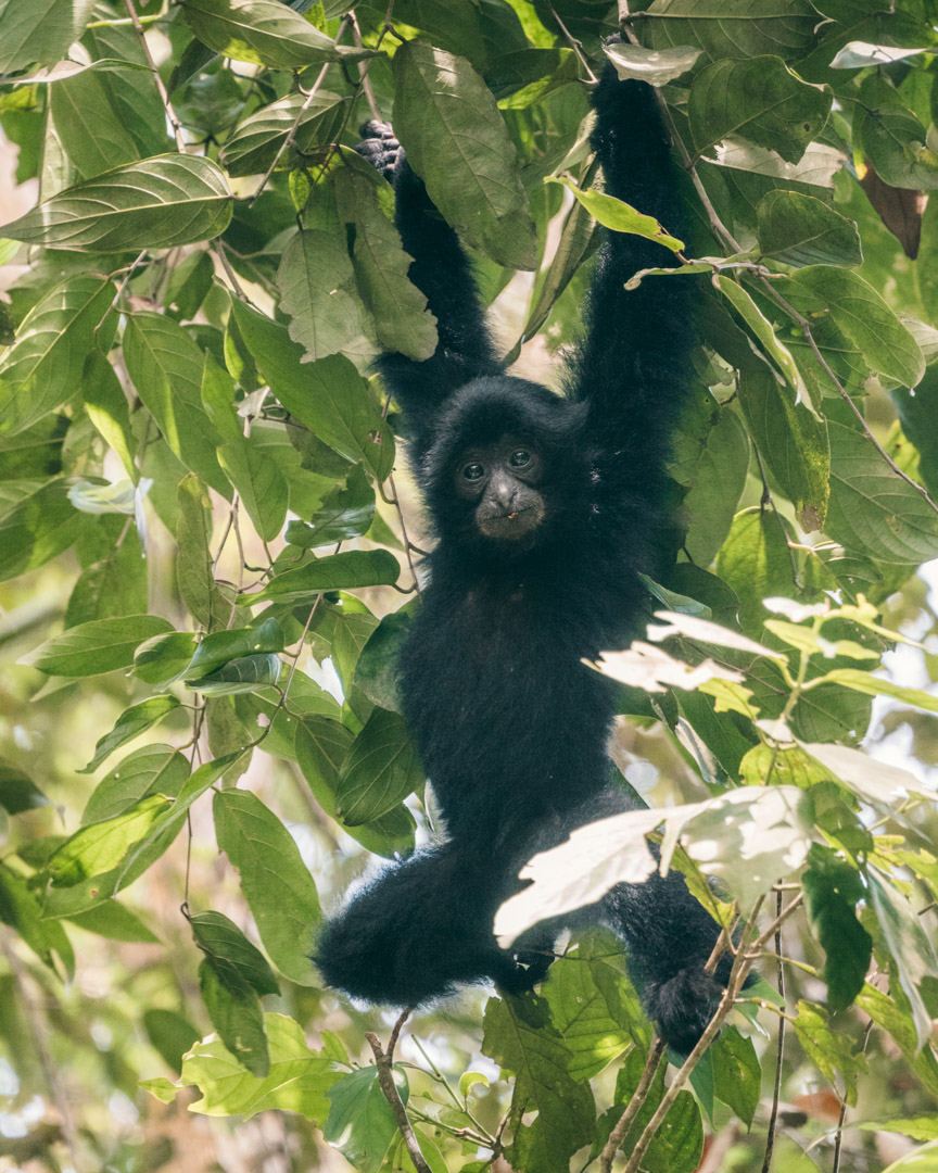 A baby siamang learning the ropes in the rainforest