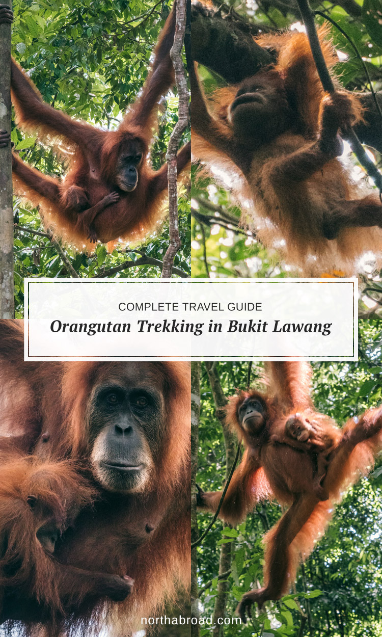 How to ethically spot orangutans in the wild in North Sumatra, Indonesia