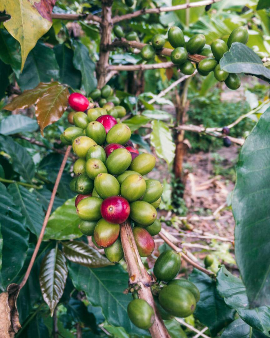 Ripe and unripe coffee beans on Samosir Island