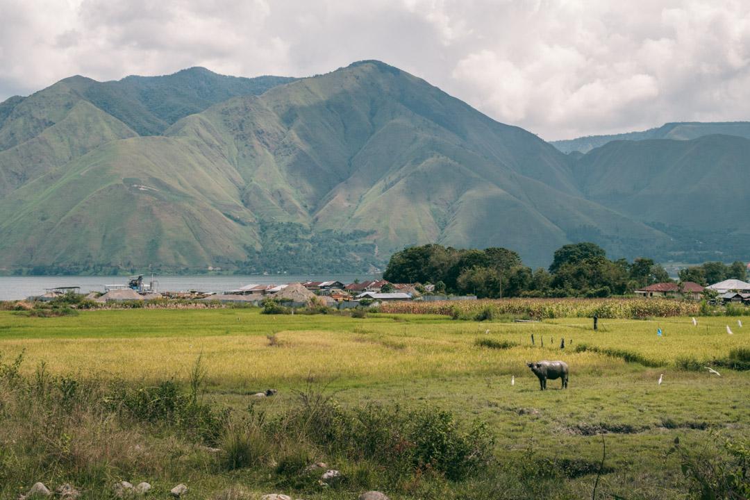 Water buffalo grazing on Samosir's western side