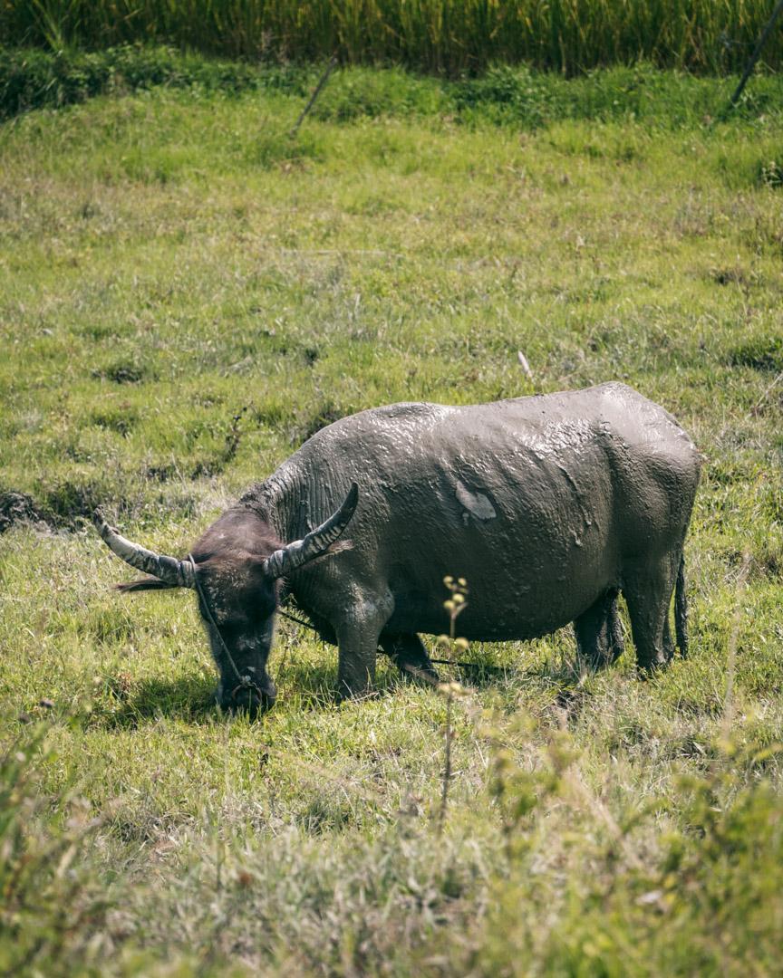 Water buffalo on Samosir