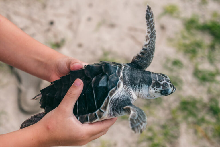 Child touching a baby sea turtle