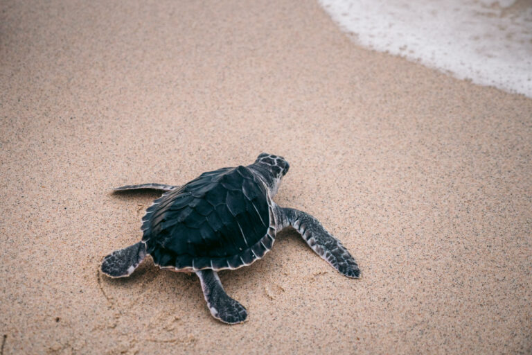Turtle on sand towards the sea