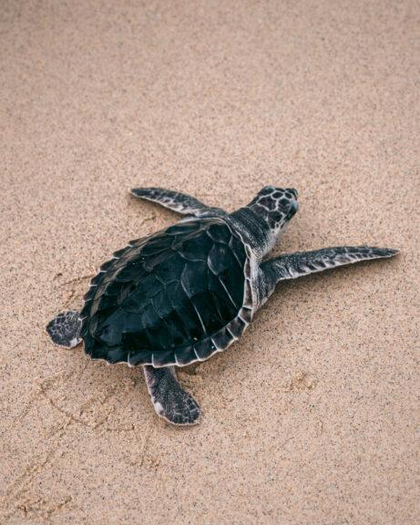Turtle away from ocean