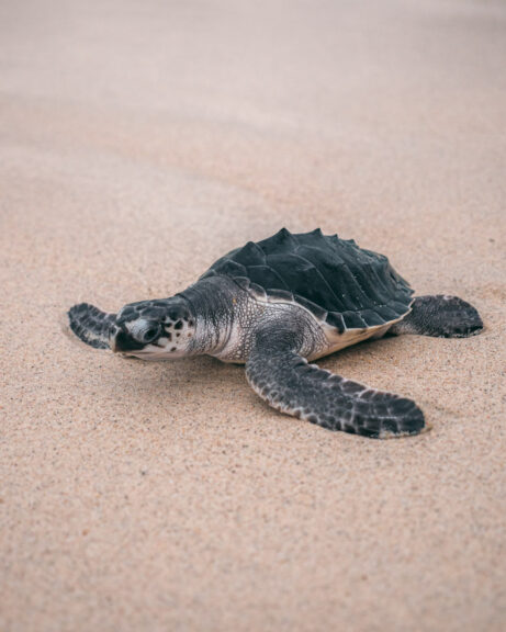 Baby sea turtle in Indonesia