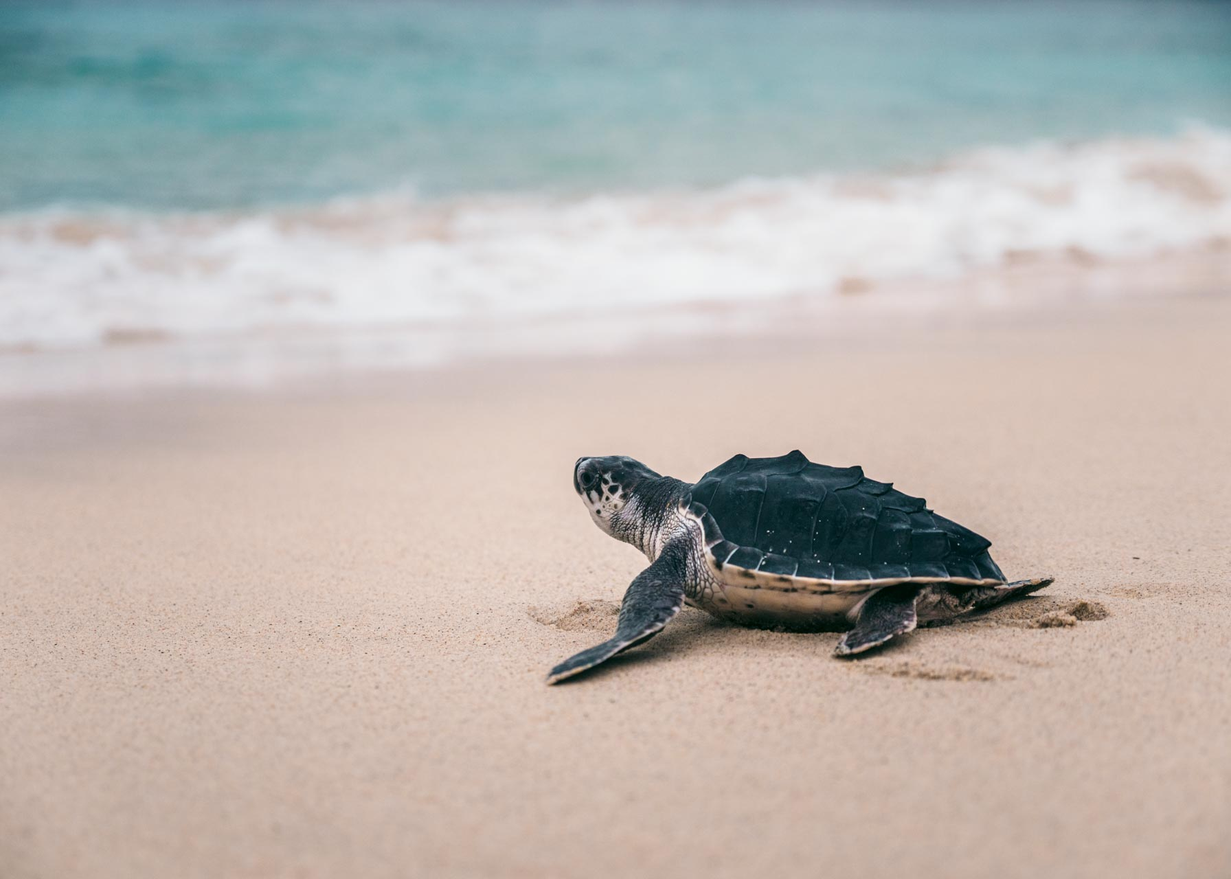 Why You Shouldn't Pick Up Baby Sea Turtles
