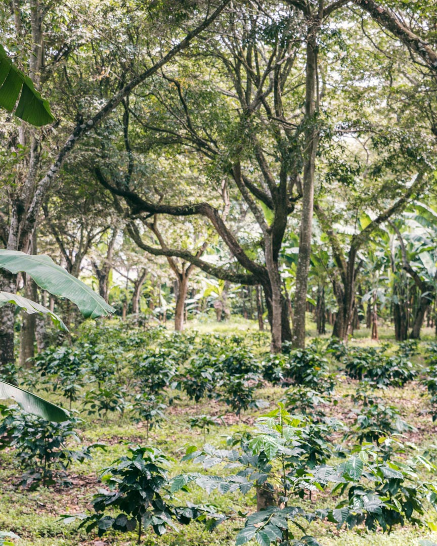 Roberto Orantes' Bird Friendly certified coffee farm
