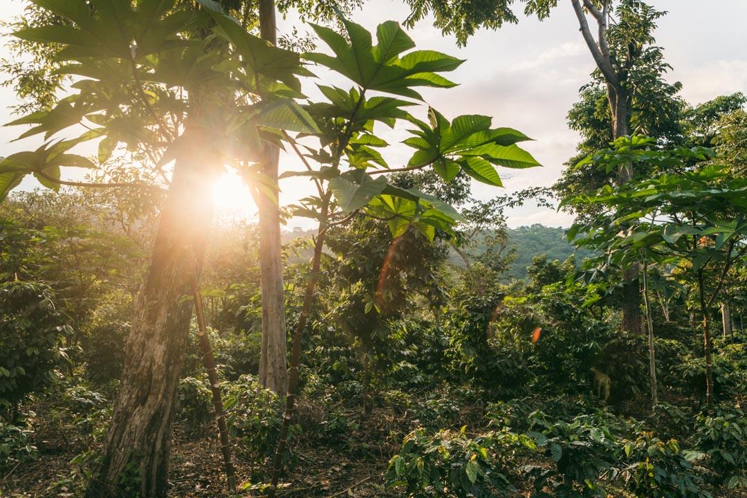 Shade grown coffee in El Salvador