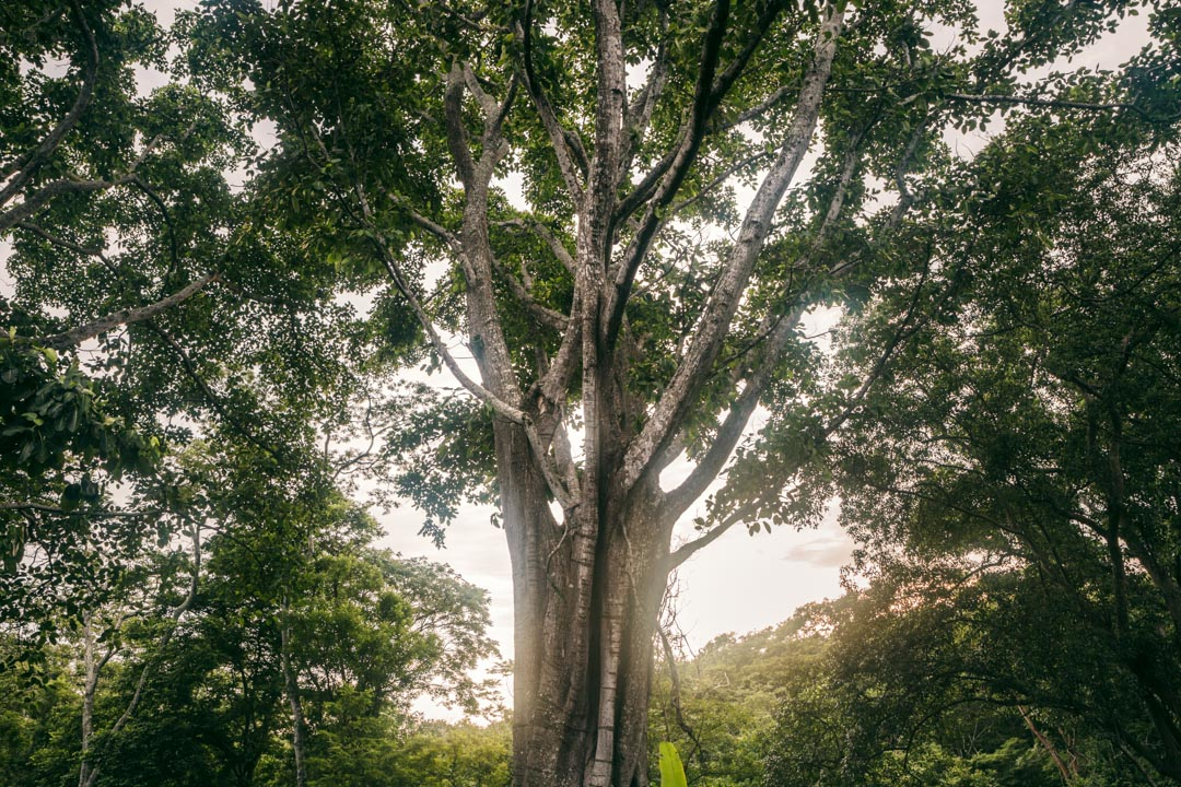 An old shade tree on a coffee farm in Nicaragua