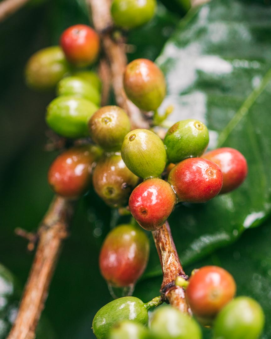 Coffee cherries ripen unevenly and are generally fully ripened when they're deep red in colour