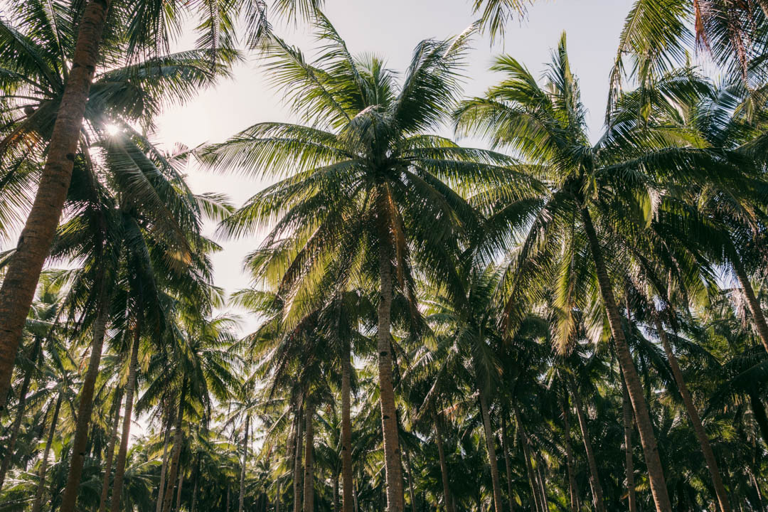 Palm trees on Siargao