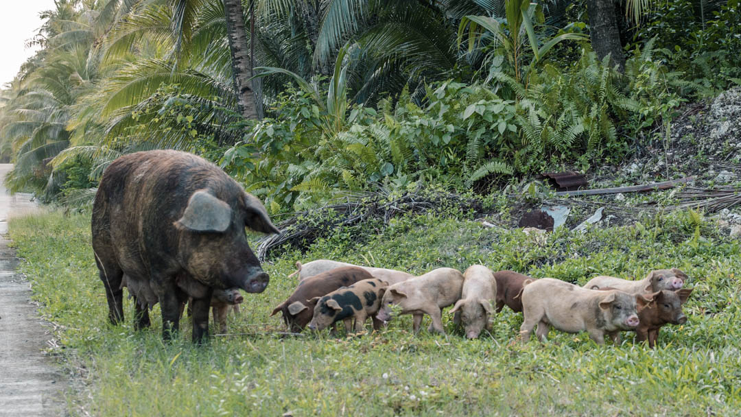 Pigs on the road in Siargao