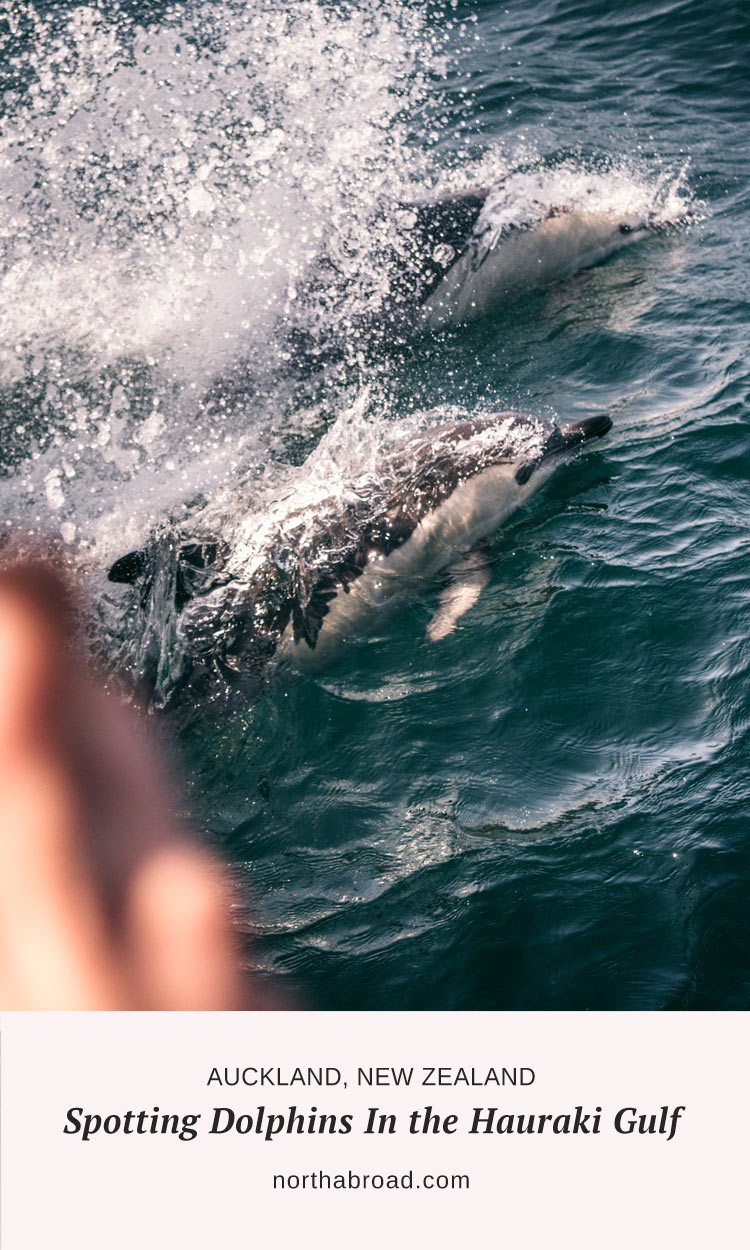 Spotting Dolphins in the Hauraki Gulf, Auckland, New Zealand. Our experience trying to see some of the incredible wildlife right on Auckland's doorstep with Auckland Whale & Dolphin Safari.