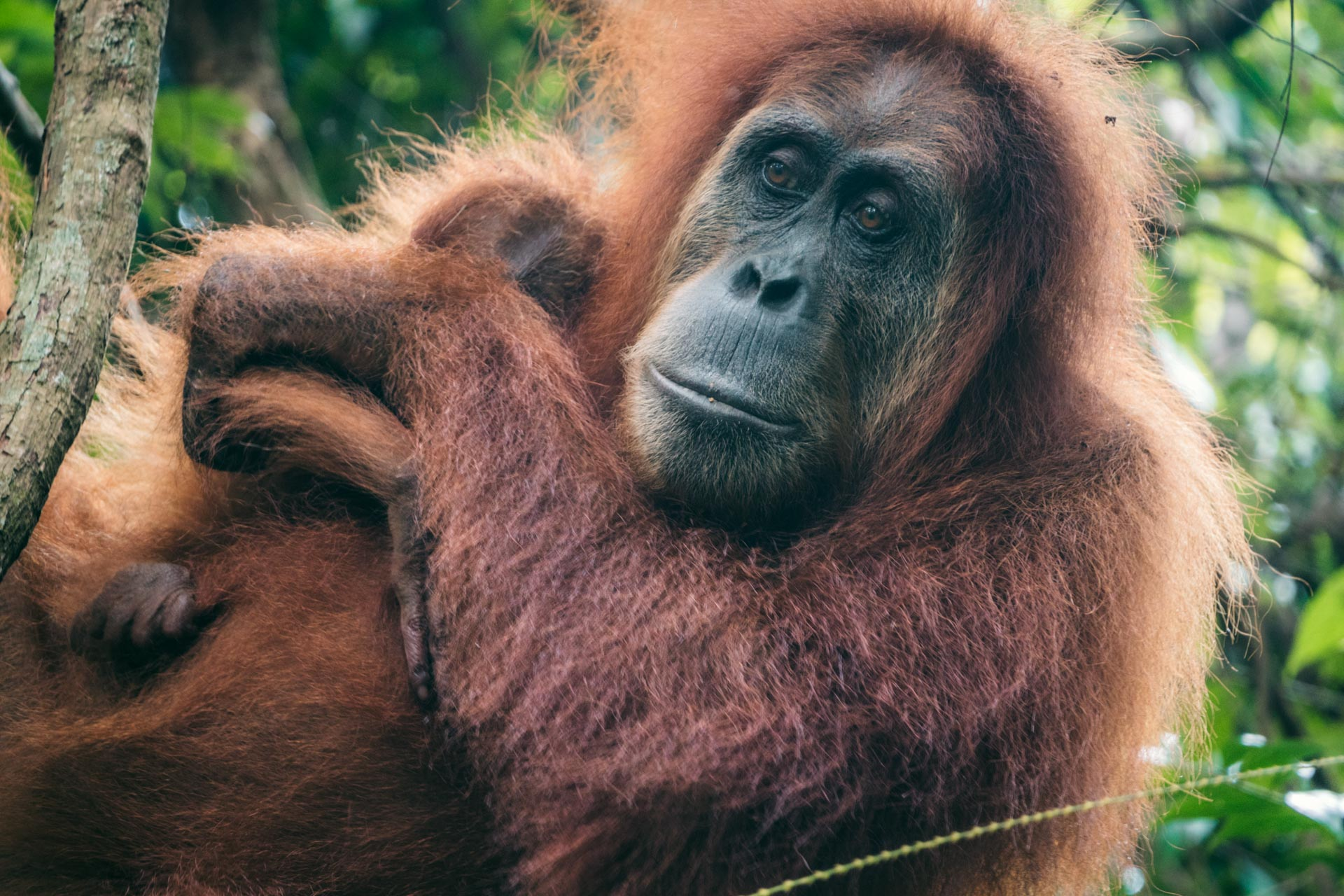 Orangutan Jungle Trekking in Bukit Lawang: Complete Travel Guide