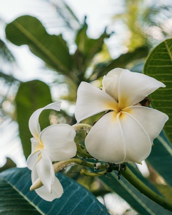 White thai flowers