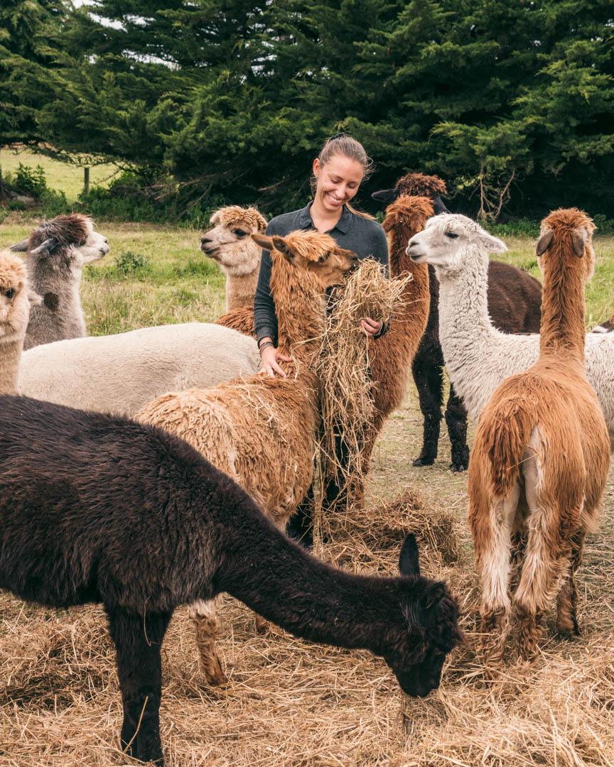 Victoria feeding alpacas