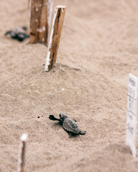 A sea turtle heading to the ocean from a hatchery in Mexico