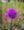 Hintersteiner See flower