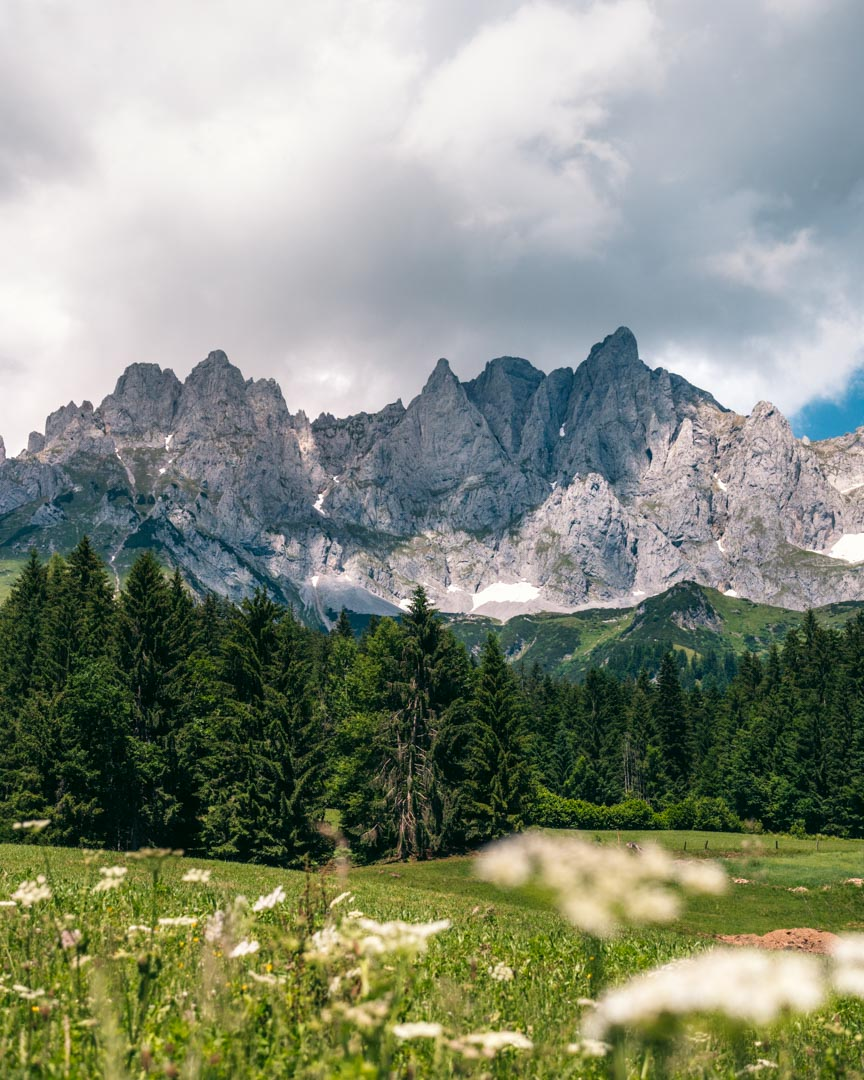 Wilder Kaiser range with flowers in the foreground