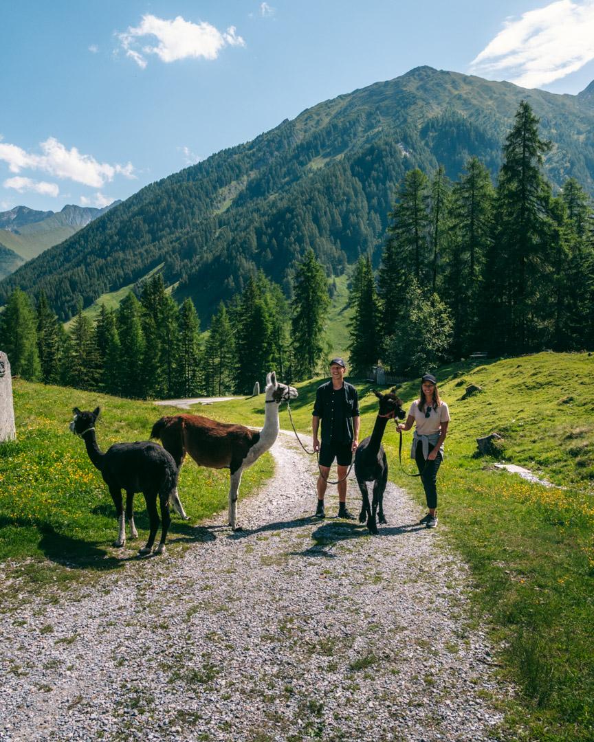 Alpacas and llama hiking